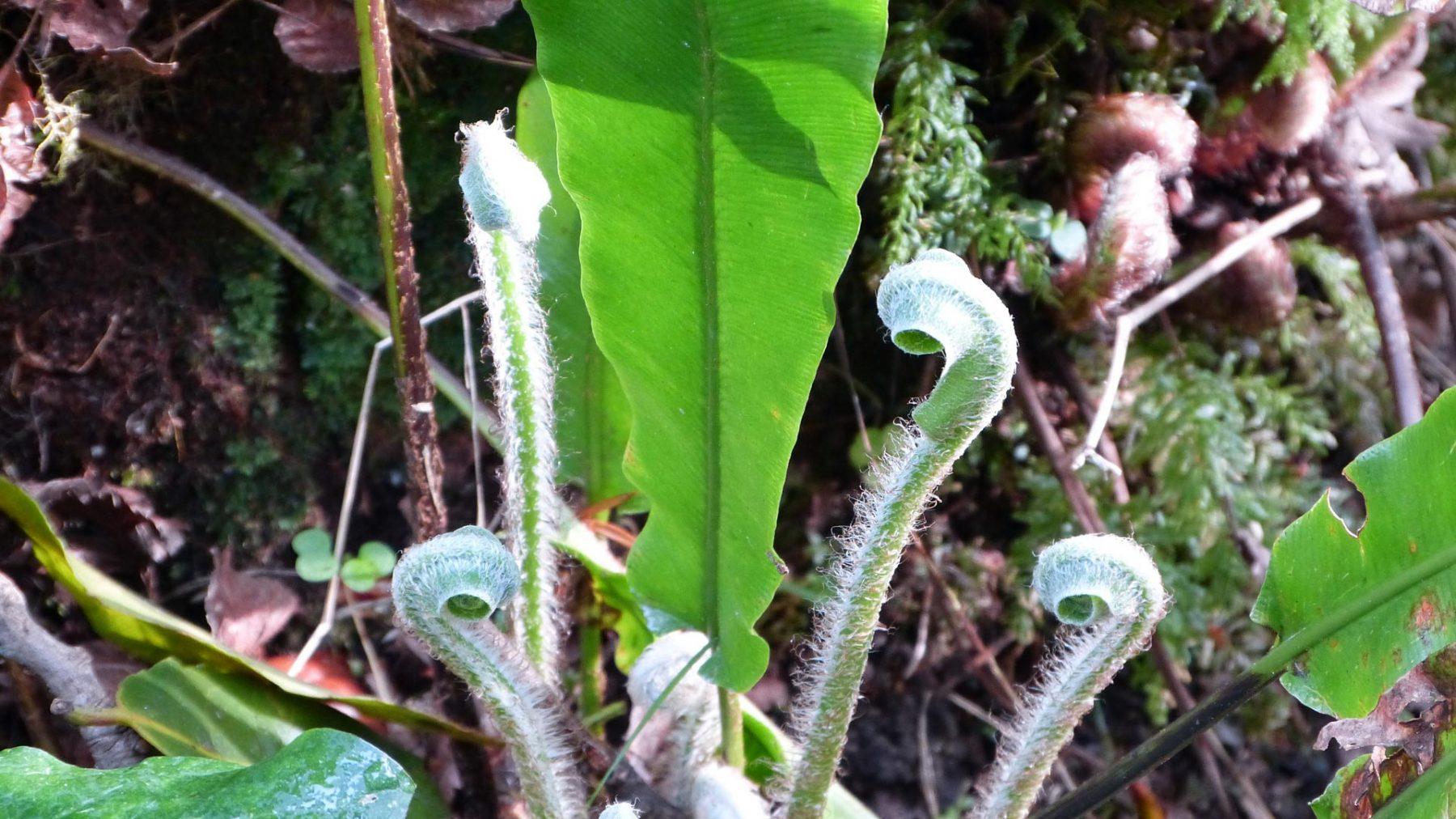 Planta en Selva Asturiana