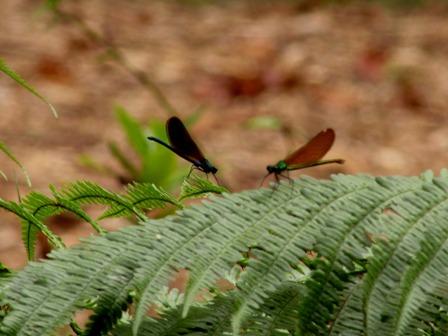 2-libelulas