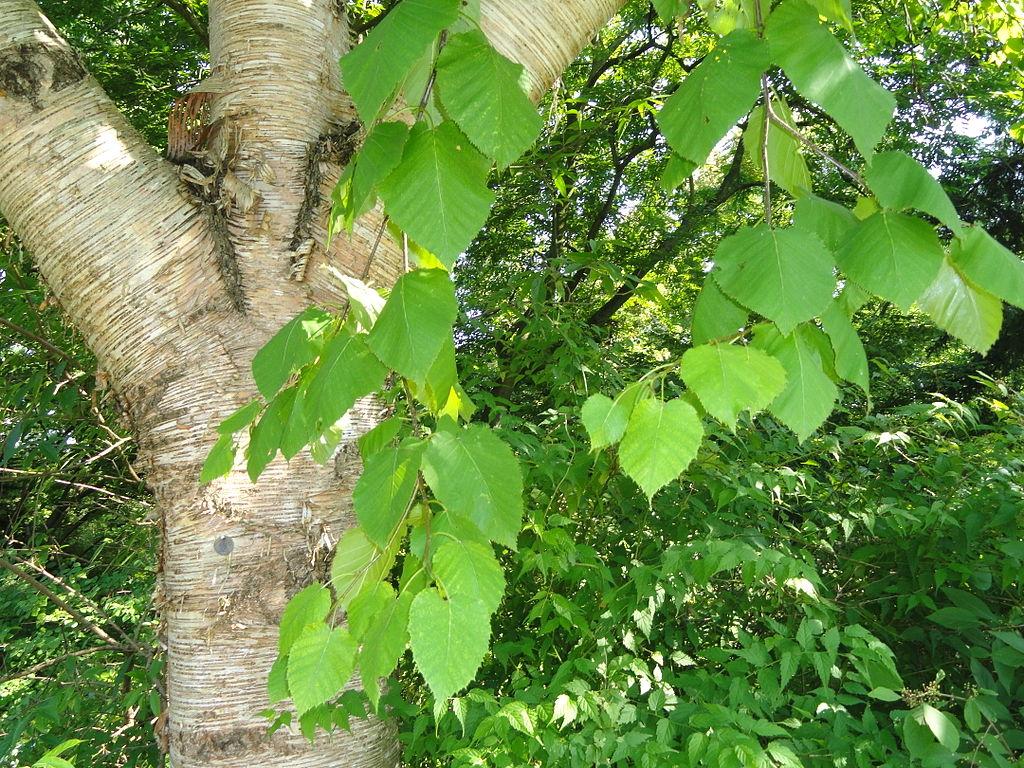 Hojas de Betula maximowicziana