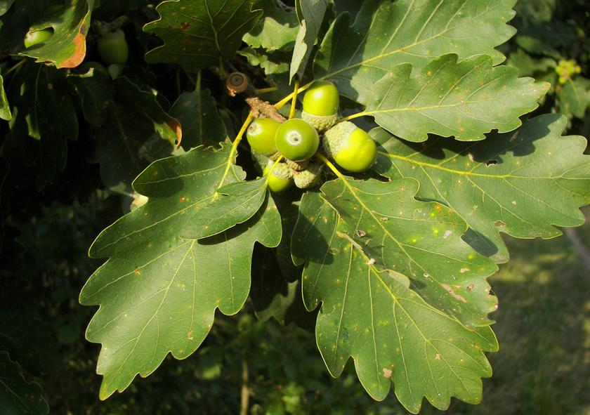 Roble albar (Quercus petraea)