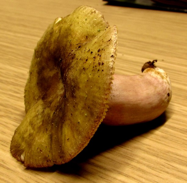 Russula aeruginea