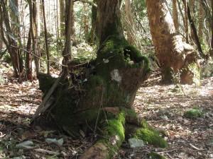 Tronco en el Bosque de Bolao- Selva Asturiana (Llanes)