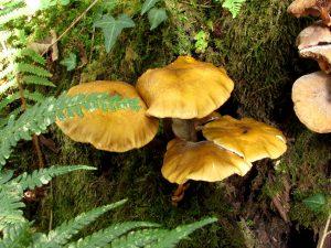 En los troncos añosos florecen los hongos de otoño