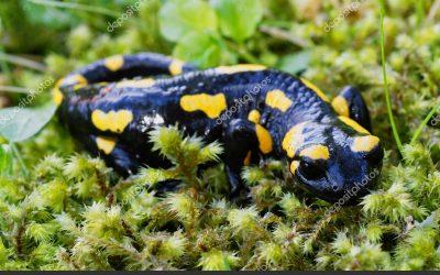 Salamandras, las hadas más antiguas